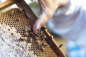 Jak zrobić domek dla pszczół? Pszczoła murarka ogrodowa jest przykładem owada, który może wspa