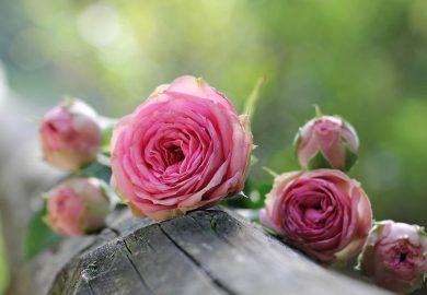 Trawy ozdobne i róże – doskonałe połączenie!