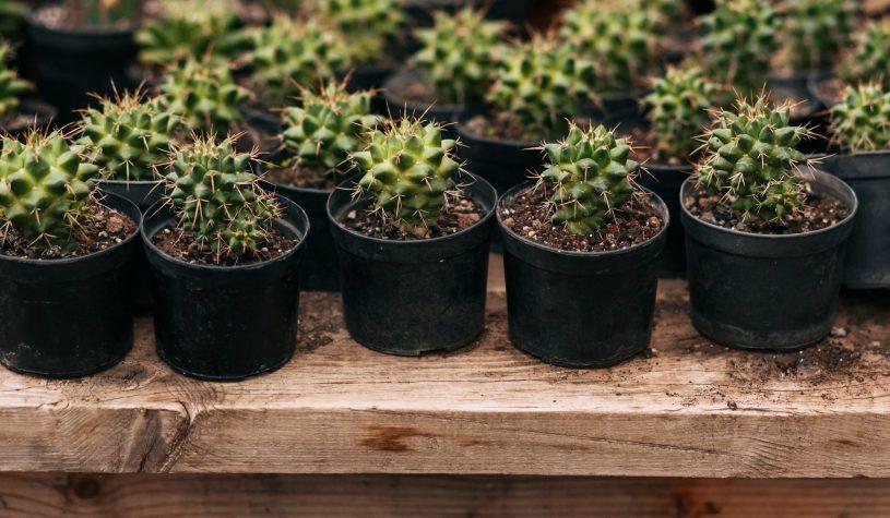 Jak dbać o kaktusy doniczkowe?